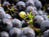 Czy warto robić domowe wino?
